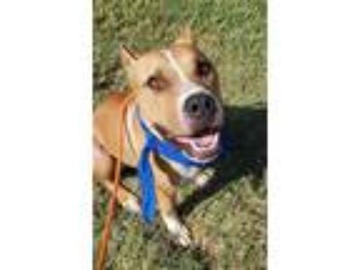Adopt Kratos a Tan/Yellow/Fawn American Pit Bull Terrier / Mixed dog in Fort