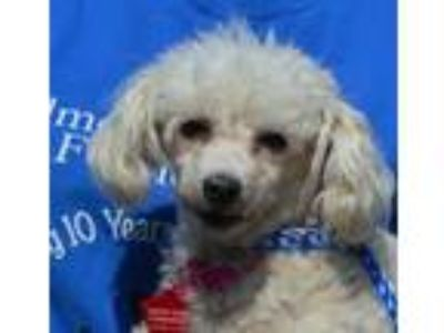 Adopt Lady Diamond a Poodle, Mixed Breed