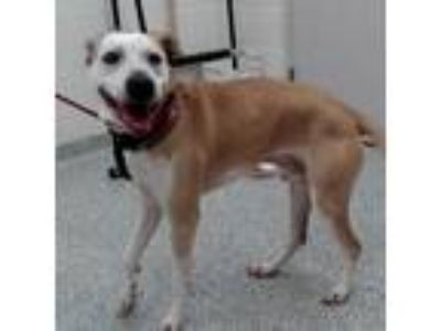 Adopt Bentley a Tan/Yellow/Fawn Pointer / Mixed Breed (Large) dog in Knoxville