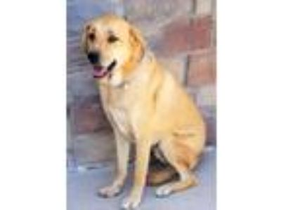 Adopt **GUS** a Yellow Labrador Retriever