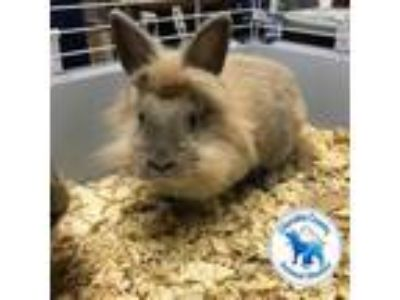 Adopt Louise a Angora Rabbit