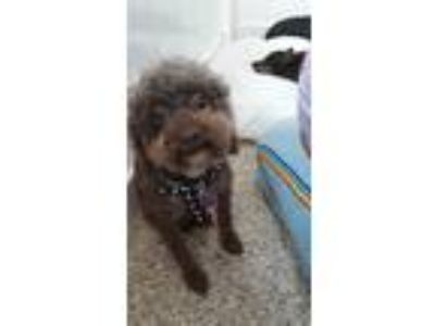 Adopt Addison a Brown/Chocolate Poodle (Toy or Tea Cup) / Mixed dog in Thousand