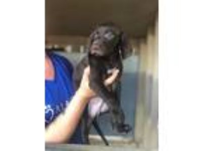 Adopt Kaufman a Labrador Retriever, Border Collie