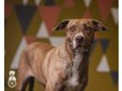 Adopt Delilah a Brindle Labrador Retriever / Pit Bull Terrier / Mixed dog in