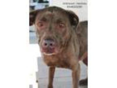 Adopt Hershey- Unknown a Brown/Chocolate Labrador Retriever / American Pit Bull