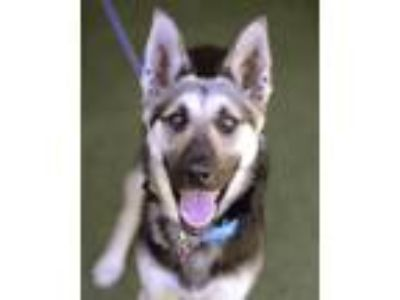 Adopt Nasha a German Shepherd Dog