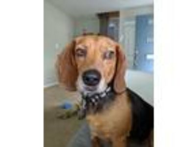 Adopt Cooper a Tricolor (Tan/Brown & Black & White) Beagle / Mixed dog in