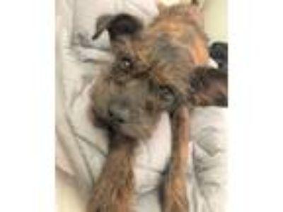 Adopt Simon a Brindle Standard Schnauzer / Italian Greyhound / Mixed dog in