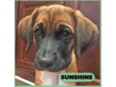 Adopt Sunshine a Tan/Yellow/Fawn - with Black Labrador Retriever / Hound