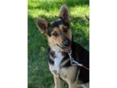 Adopt NALA a German Shepherd Dog