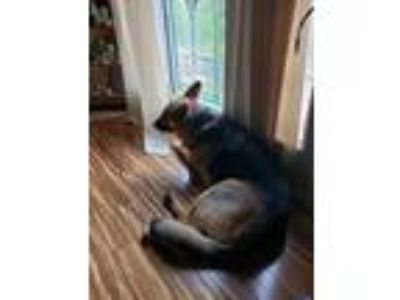 Adopt Mila a Brown/Chocolate - with White German Shepherd Dog / Mixed dog in