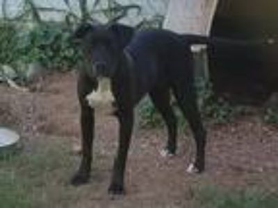 Adopt Zoey a Black - with White American Pit Bull Terrier / Mixed dog in