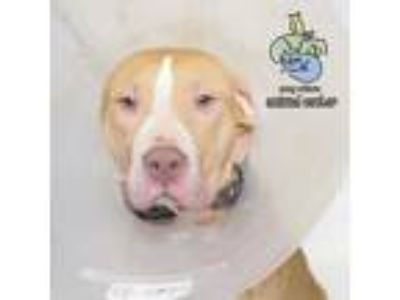 Adopt Woody a Pit Bull Terrier