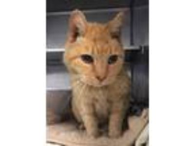 Adopt Mildred a Domestic Short Hair