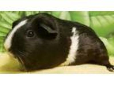Adopt Maggie a Black Guinea Pig / Guinea Pig / Mixed small animal in Englewood