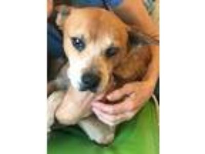 Adopt NOELLE a Cattle Dog, Beagle