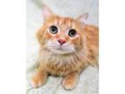 Adopt Ernie a Domestic Long Hair