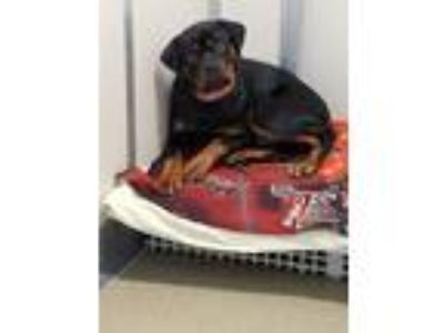 Adopt Bourbon a Black - with Tan, Yellow or Fawn Rottweiler / Mixed dog in