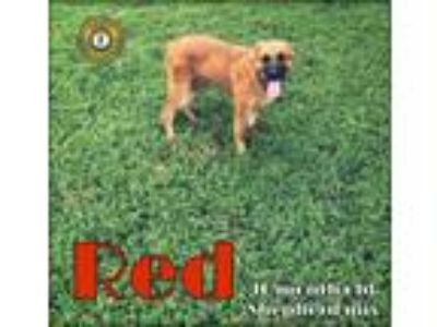 Adopt Red a Shepherd