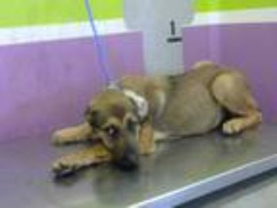 Adopt NATASHA a Brown/Chocolate - with Black German Shepherd Dog / Mixed dog in