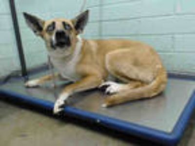 Adopt TLALLI a Tan/Yellow/Fawn - with White Husky / Mixed dog in Gardena