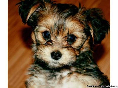 Protective Yorkshire Terrier puppies available