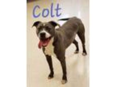 Adopt Colt a Pit Bull Terrier
