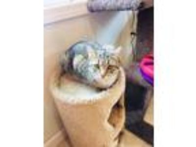 Adopt Tizzy a Domestic Short Hair