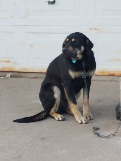 Rotteweiler lab mix