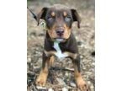 Adopt Ygritte a Catahoula Leopard Dog