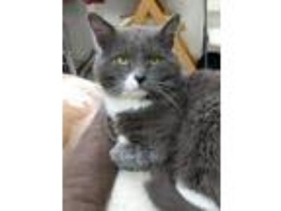 Adopt Humphries a Domestic Short Hair