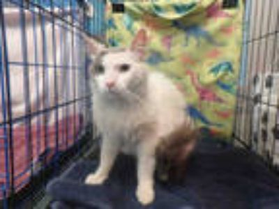 Adopt WHISKERS a White (Mostly) Domestic Shorthair / Mixed (short coat) cat in