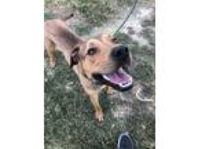 Adopt BULL a Brown/Chocolate Airedale Terrier / American Pit Bull Terrier /