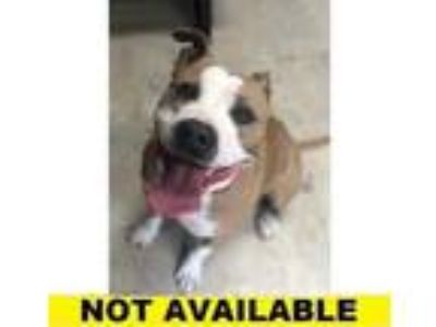 Adopt Cornbread a Tan/Yellow/Fawn American Staffordshire Terrier / Mixed dog in