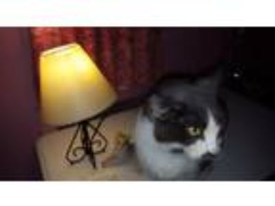 Adopt Kitty Bones a Domestic Medium Hair