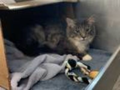 Adopt JUNGLE a Gray or Blue Domestic Mediumhair / Mixed (medium coat) cat in