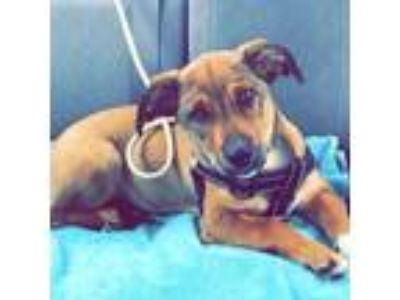Adopt Marley a Brown/Chocolate - with Black Corgi / Corgi dog in Wingate