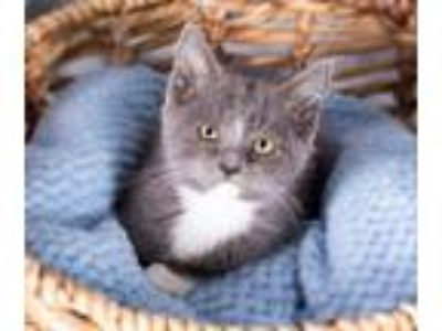 Adopt Fleas Witherspoon a Domestic Short Hair