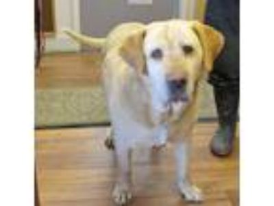 Adopt Harbin a Tan/Yellow/Fawn Labrador Retriever / Mixed dog in Fayetteville