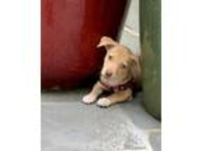 Adopt Squirtle a Tan/Yellow/Fawn Hound (Unknown Type) dog in MCLEAN