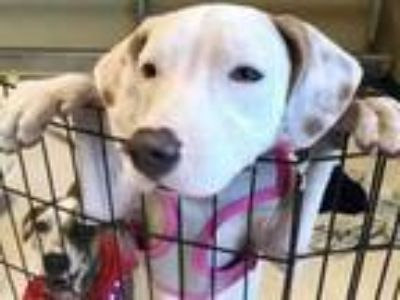 Adopt PRINCESS a Labrador Retriever