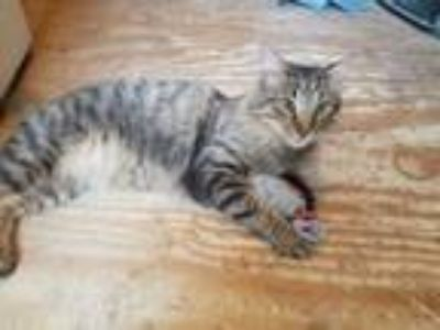 Adopt Stewie a Tabby, Norwegian Forest Cat