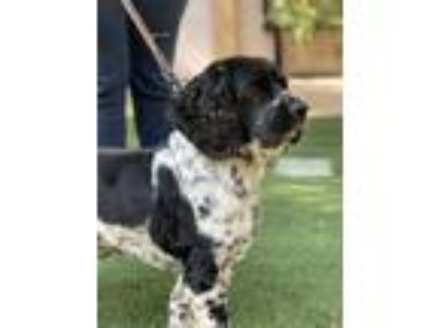 Adopt Oreo a Black - with White Spaniel (Unknown Type) / Mixed dog in Lodi