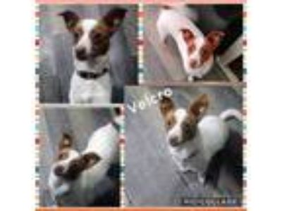 Adopt Velcro a White - with Red, Golden, Orange or Chestnut Rat Terrier / Jack