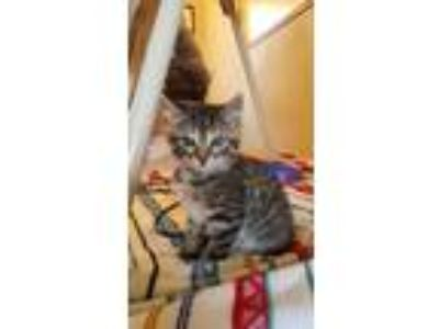 Adopt Nala a Gray, Blue or Silver Tabby Domestic Shorthair cat in Rexburg