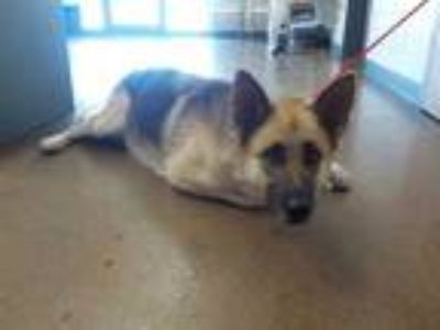 Adopt ANNE a Brown/Chocolate - with Black German Shepherd Dog / Mixed dog in