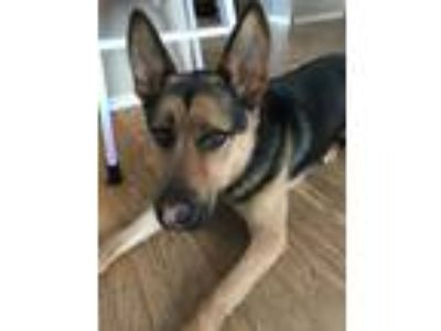 Adopt Max a Black - with Tan, Yellow or Fawn German Shepherd Dog dog in Marion