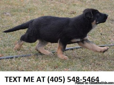 Cleanss German Shepherd Dog Puppies for Sale