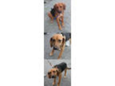 Adopt Berry/Eden a German Shepherd Dog, Beagle