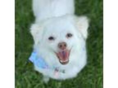 Adopt Nieve a White Poodle (Miniature) / Mixed dog in Itasca, IL (25371205)